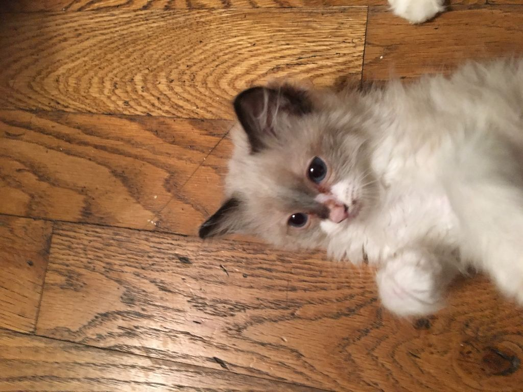 ragdoll kitten for rehome