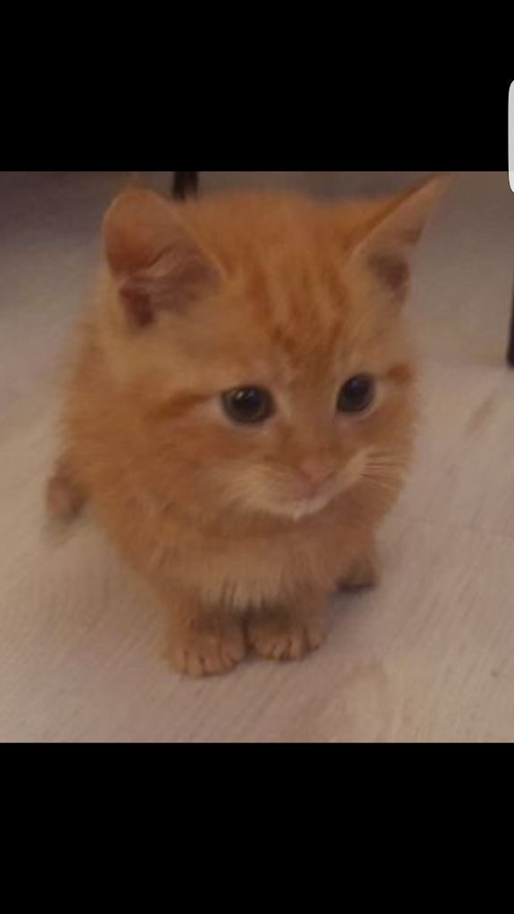 Beautiful ginger british short hair kitten