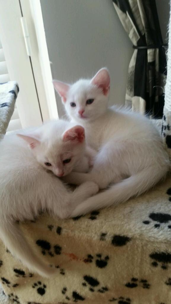 2 cute pure white female kittens