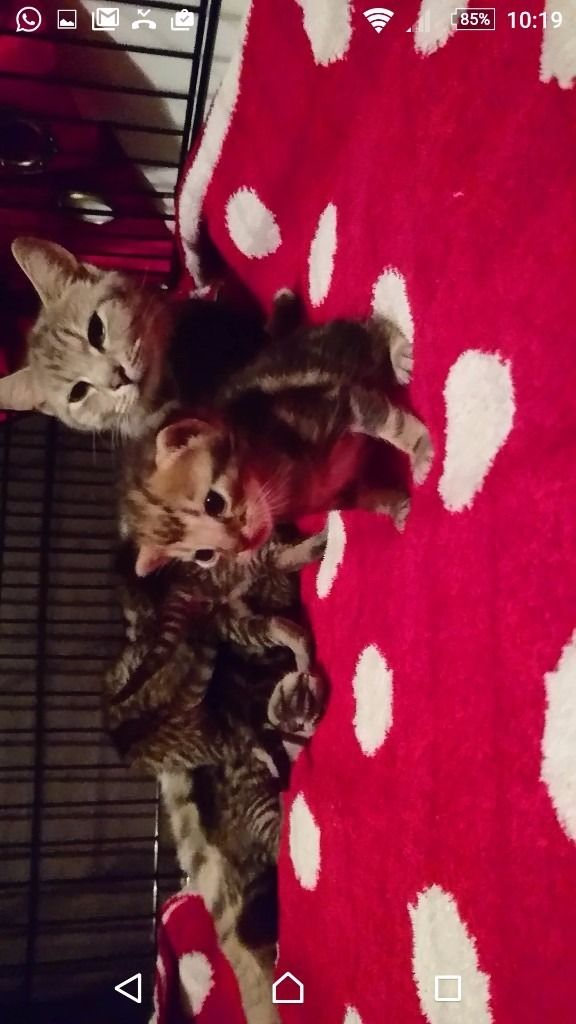 Beautiful stripey and unusual tabby kittens