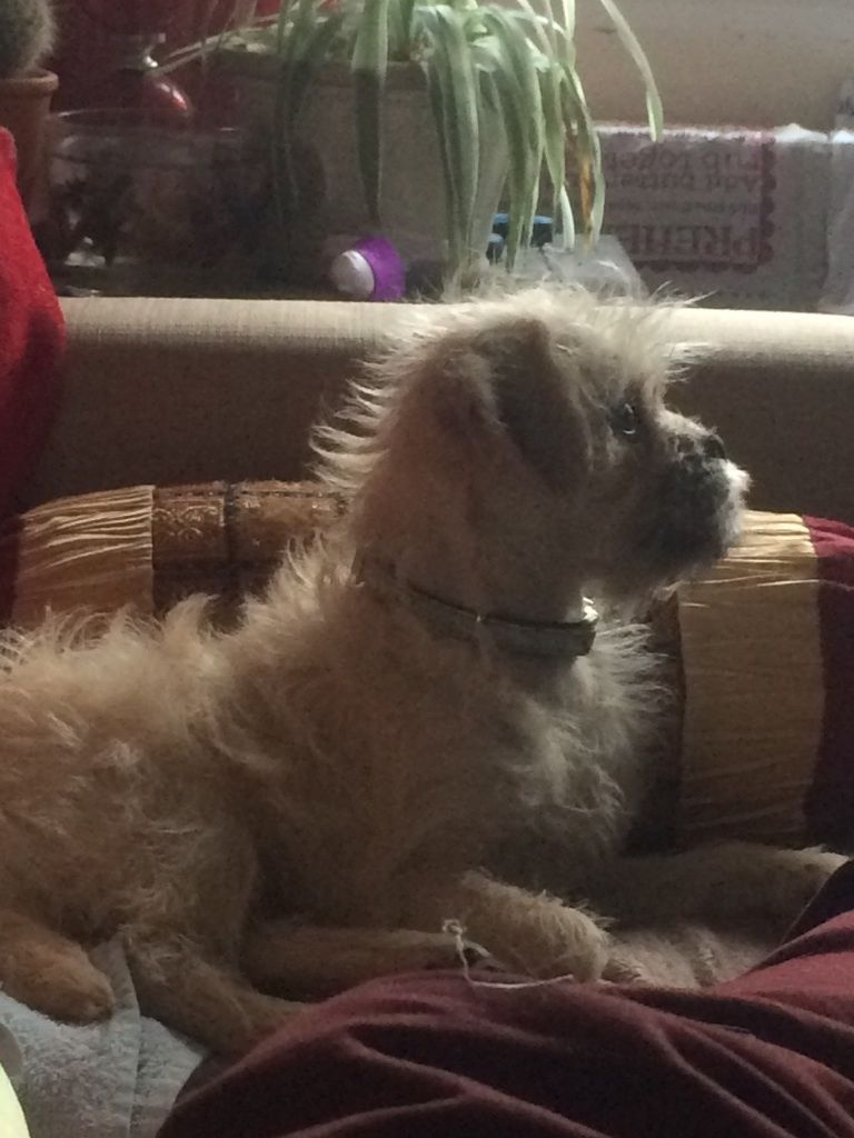Little Frank. PUG/POODLE CROSS 5 Months Old. Loves a cuddle and is very fun