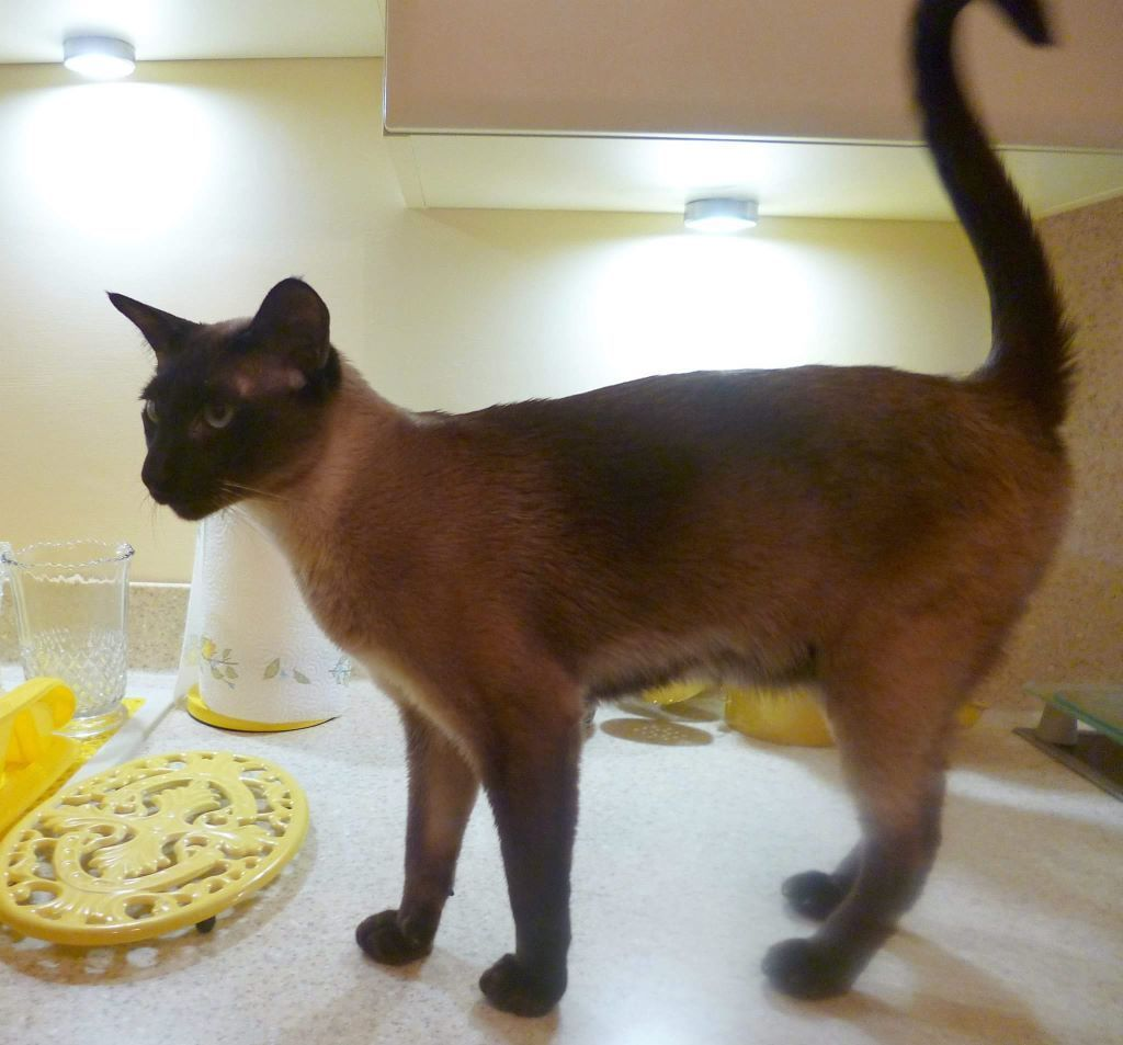 My precious Male Tonkinese is Missing. Please help if you can.