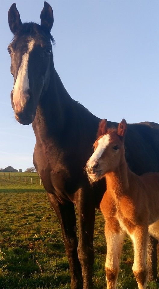 Grace, Dutch warmblood x Filly
