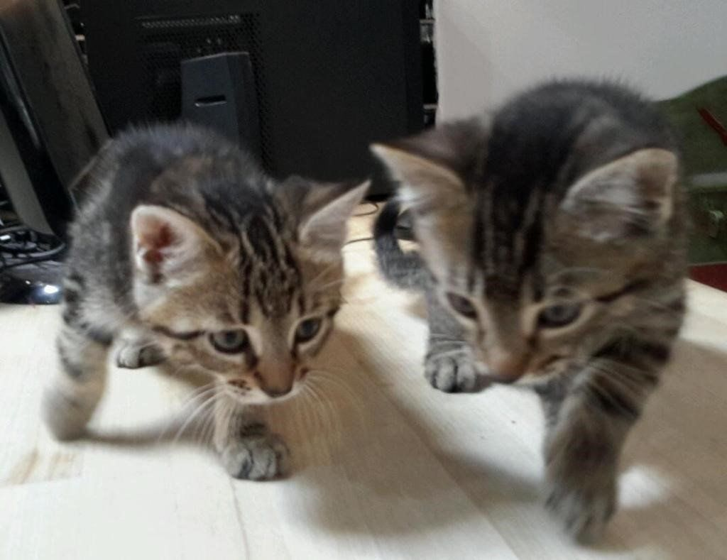 full tabby kittens boys and girls 8 weeks old