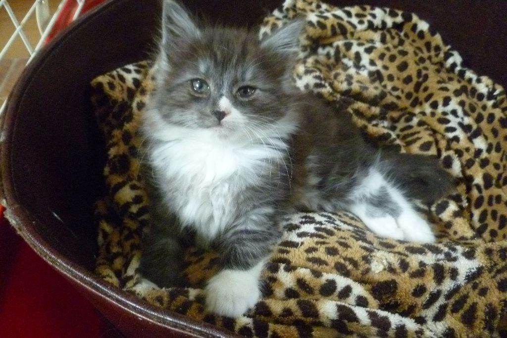 Norwegian Forest Cat long haired kittens - choice of 3