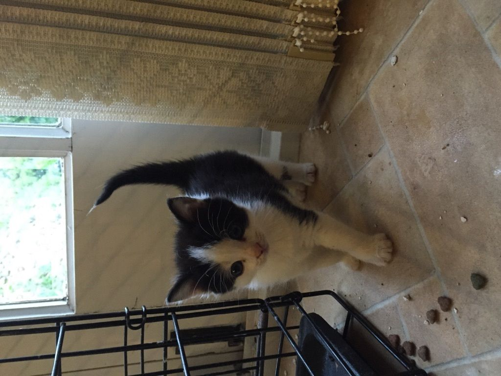 Black & white, Ginger & calico kittens for sale
