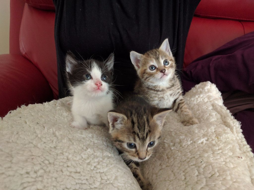 3x Kittens for sale, 2 girls one boy