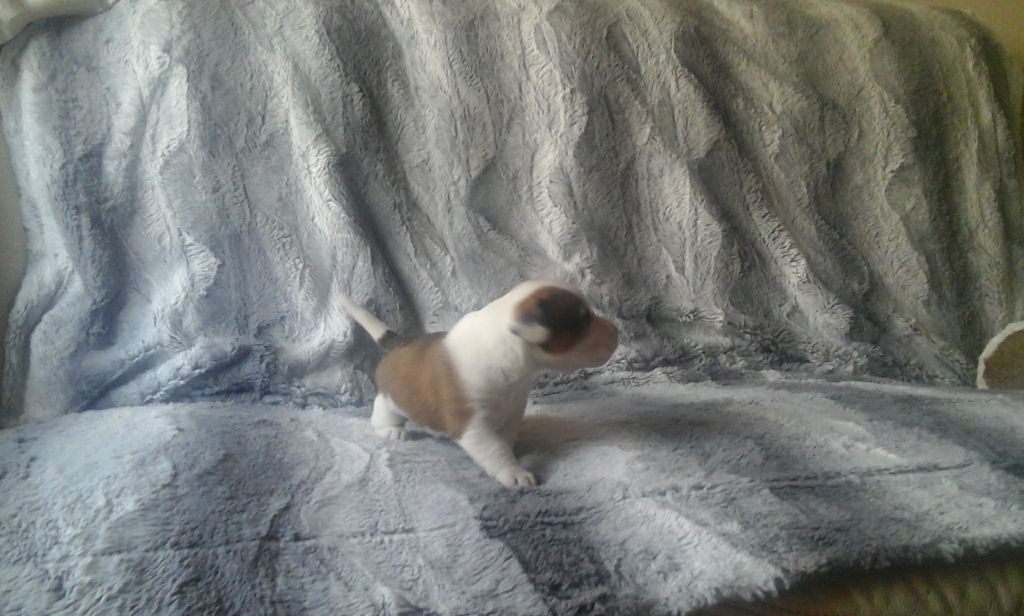 JACK RUSSELL PUP FOR SALE....