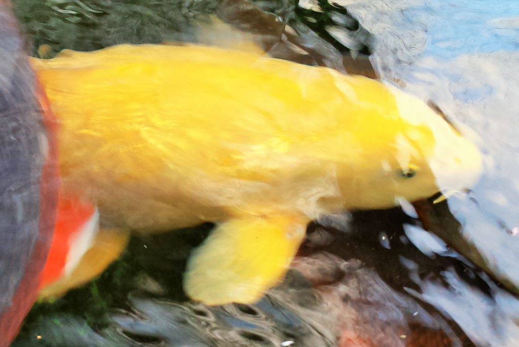 Koi Fish Keeping Club looking for likewise enthusiasts, North West