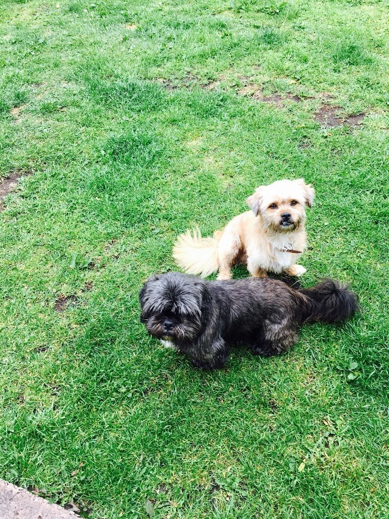 shi tzu and shi tzu cross Yorkshire terrier