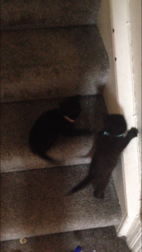 Two 10 week old kittens for sale both boys