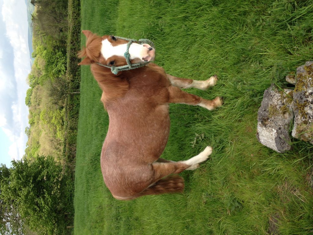 Child's pony needs to be re - homed (FREE!!)