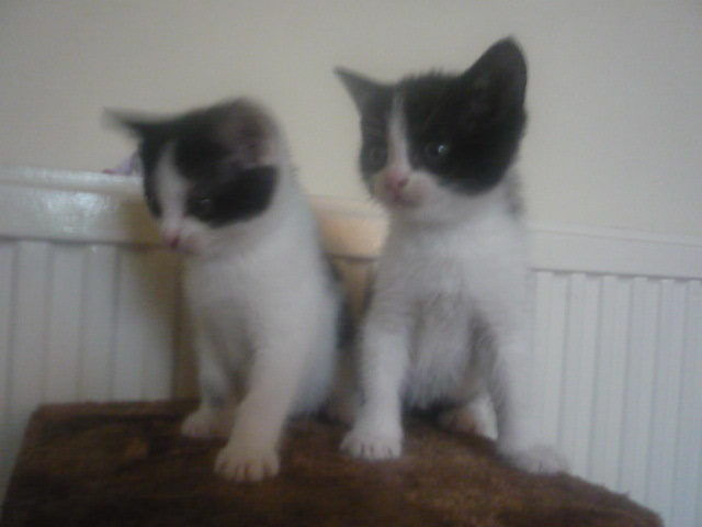 The most adorable kittens for sale - unbelievably loving, playful and cute