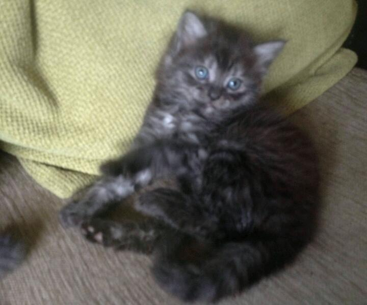 Smokey main coon cross males ready now