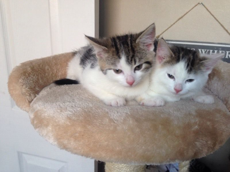 Tabby and white kittens