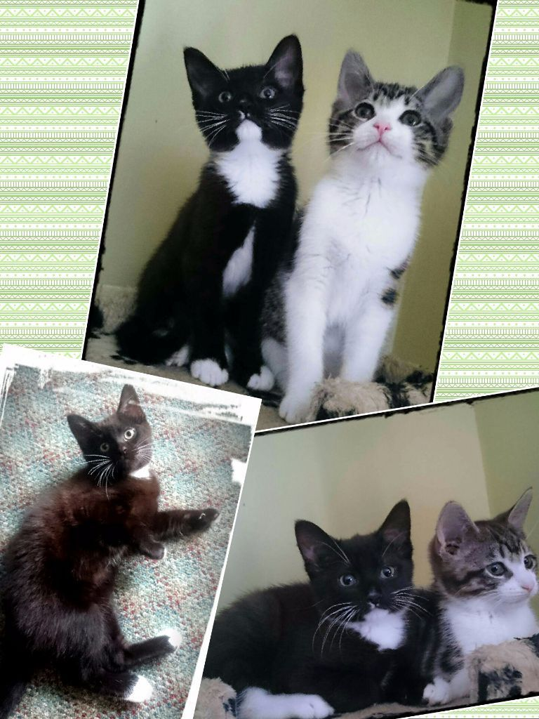 3 BEAUTIFUL PART ORIENT KITTENS (girls) FOR SALE !!!