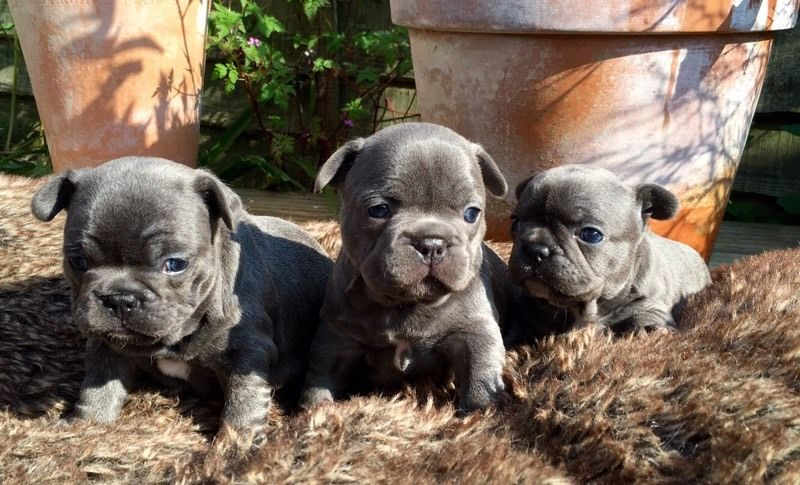 2 Gorgeous Blue French Bulldog Girls