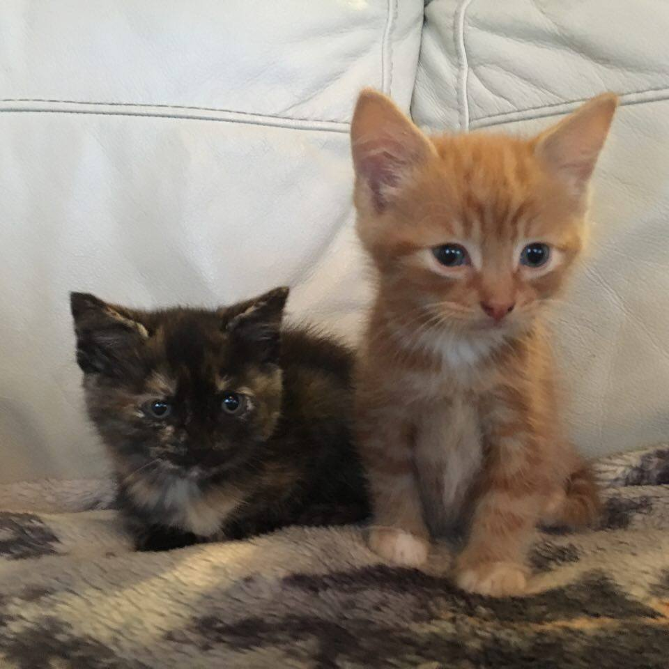 *Stunning Kittens 1 FULL GINGER GIRL ,1 Tortie Girl And 1 White and Ginger Boy