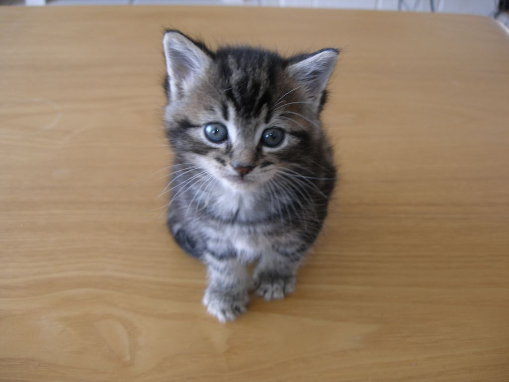 TABBY KITTENS FOR SALE ( Male and Female)