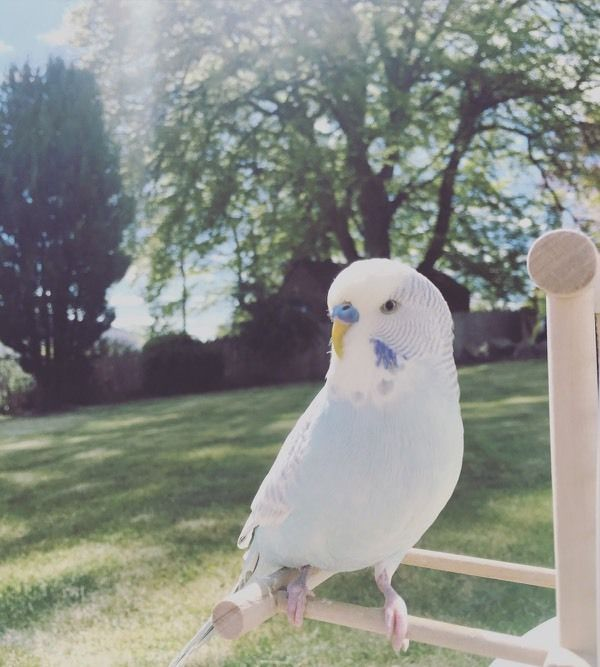 Missing Budgie, Newington area.