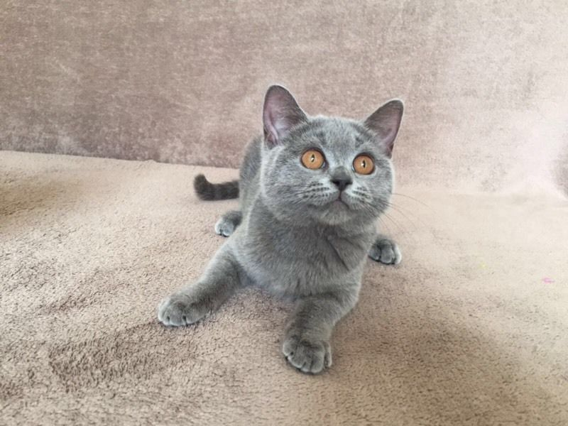 British Shorthair kitten ready now