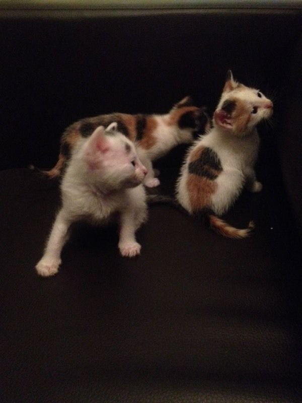 Ginger / white - Black / Grey Kittens