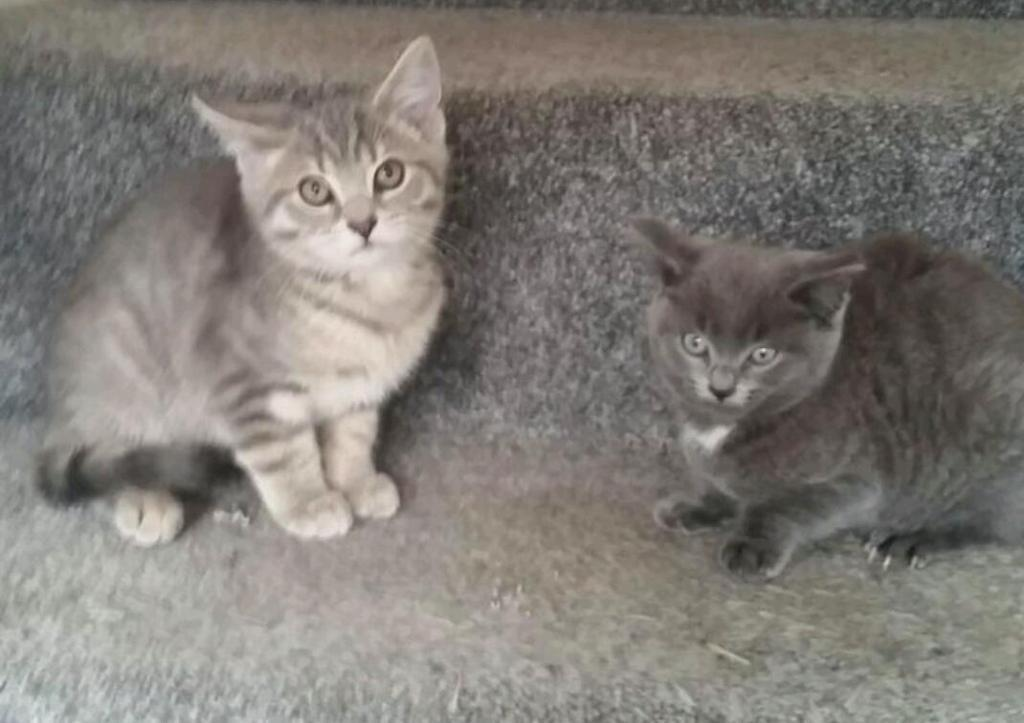 2 BRITISH BLUE KITTENS FOR SALE (READY NOW )