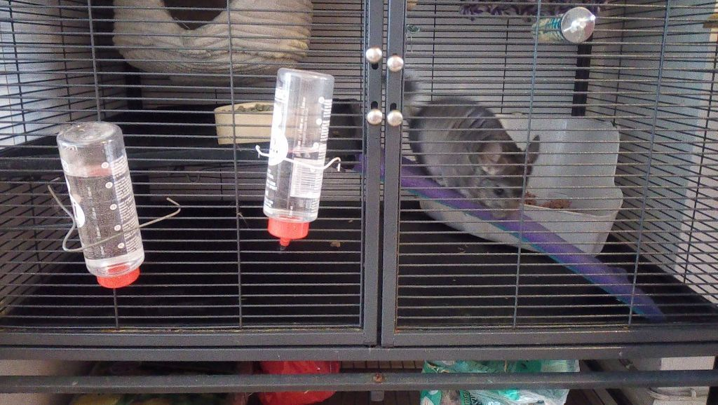 Male baby chinchilla for sale