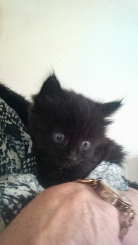 Lovely Fluffy Black Kitten 8 weeks old