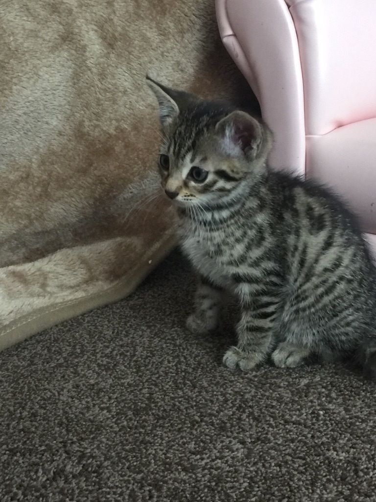 Kittens! Two Egyptian mau cross kittens ready to go now