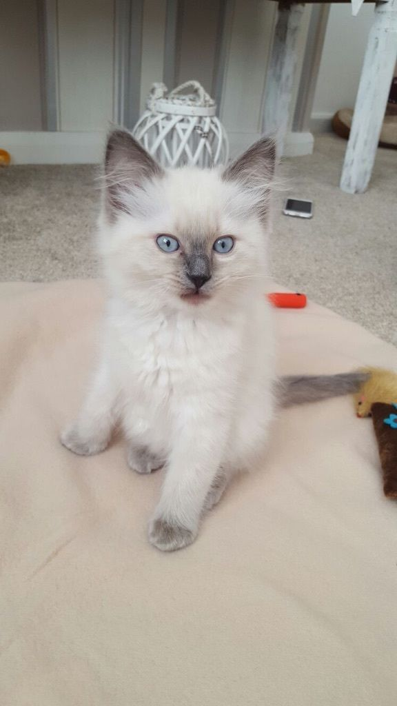 For sale ragdoll 10 weeks old blue seal ready to leave Ito date with vaccinations
