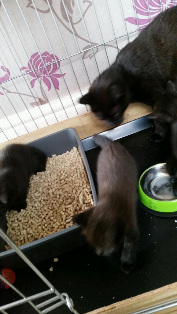 3 black male kittens