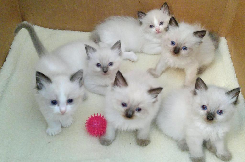 Ragdoll kittens GCCF Registered