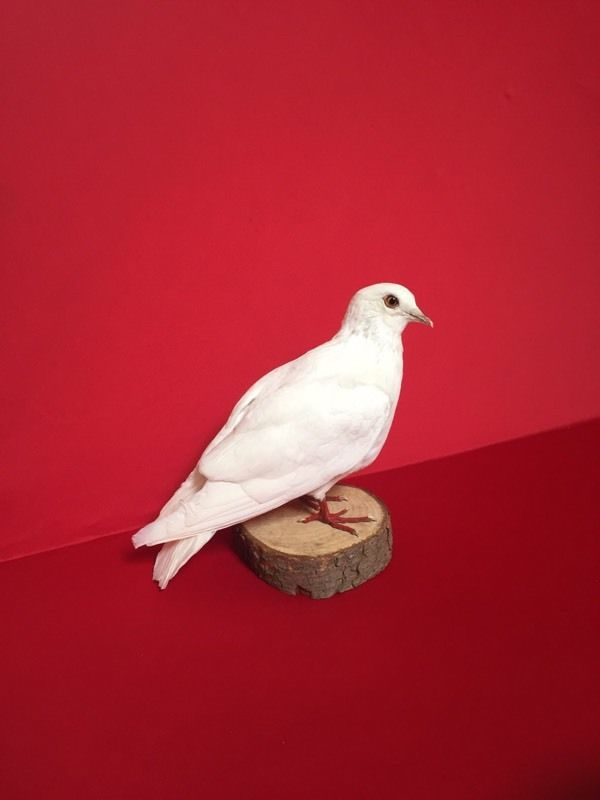 Gorgeous taxidermy White dove clean