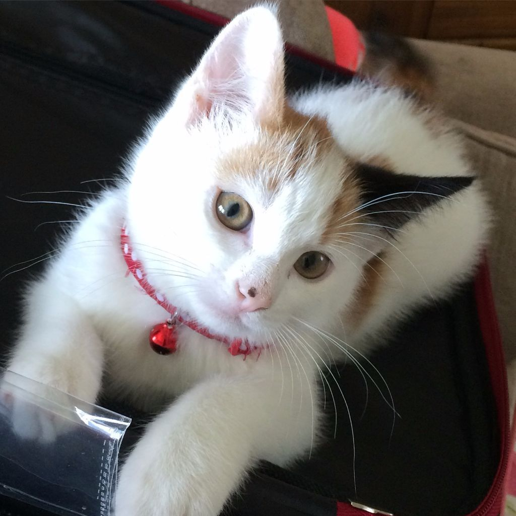 Female kitten that's had vaccinations. Genuine reason for sale