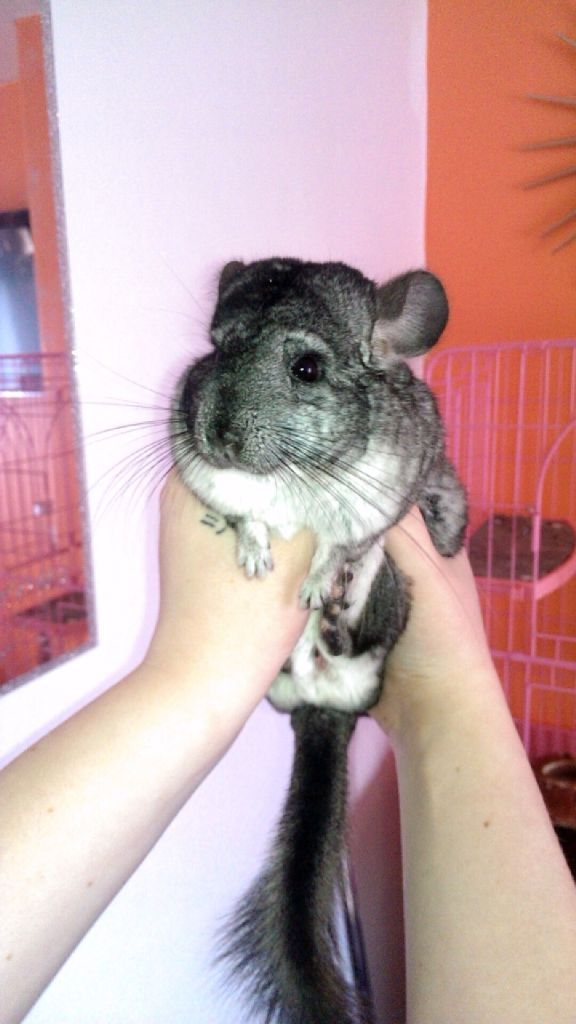Male Chinchilla 9 months old, comes with a cage, some food and bedding, volcano dust & bath
