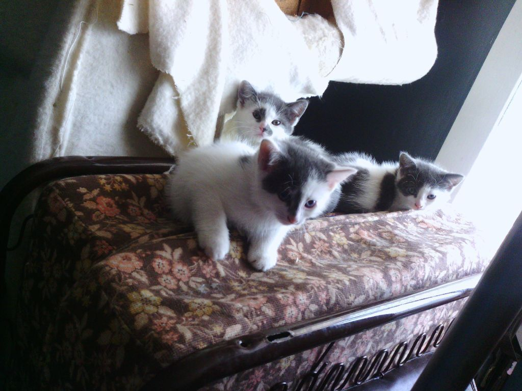 Wee kitten for sale white n grey 8wks old - 75