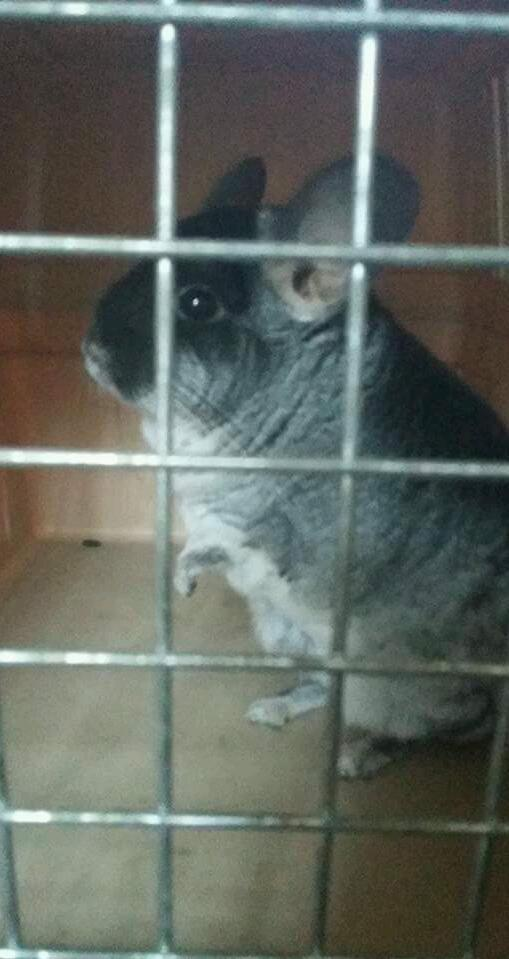12 month male chinchilla