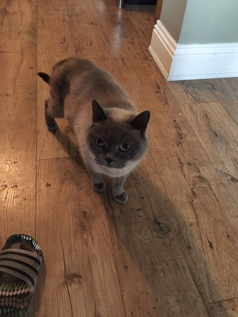 Missing female cat British blue shorthair name duchess