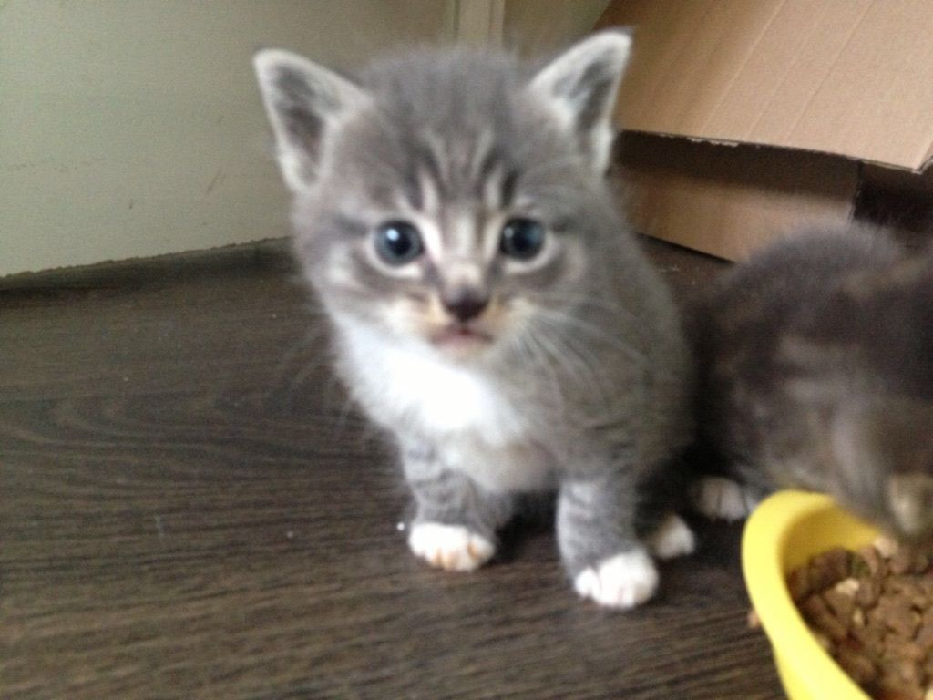 Grey tabby boy kitten