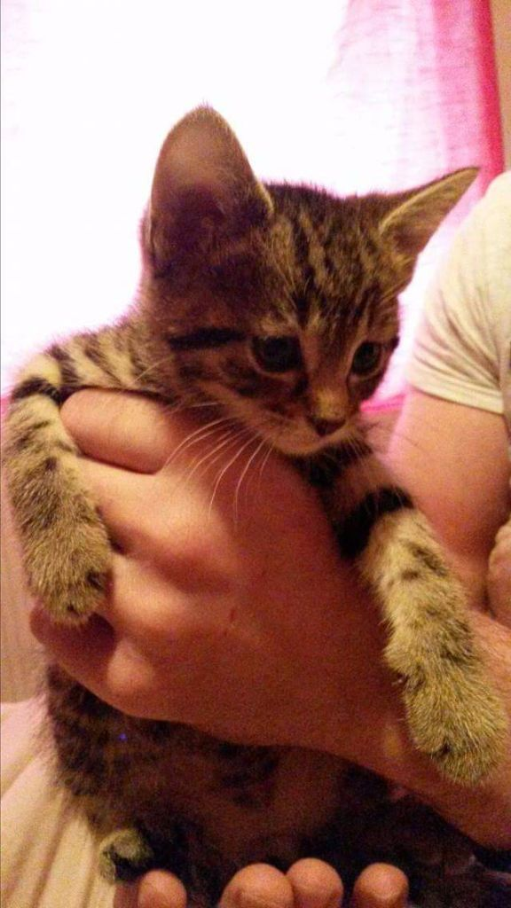 Tabby kitten for sale