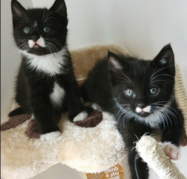 Tuxedo Kittens For Sale