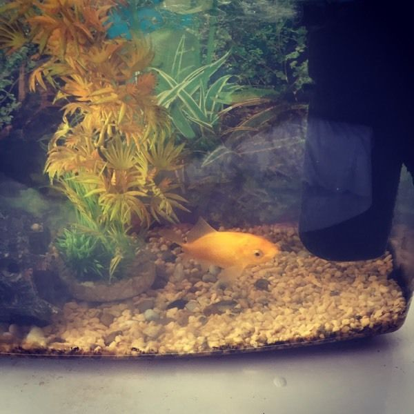 Free to good home - goldfish for pond / keep in aquarium