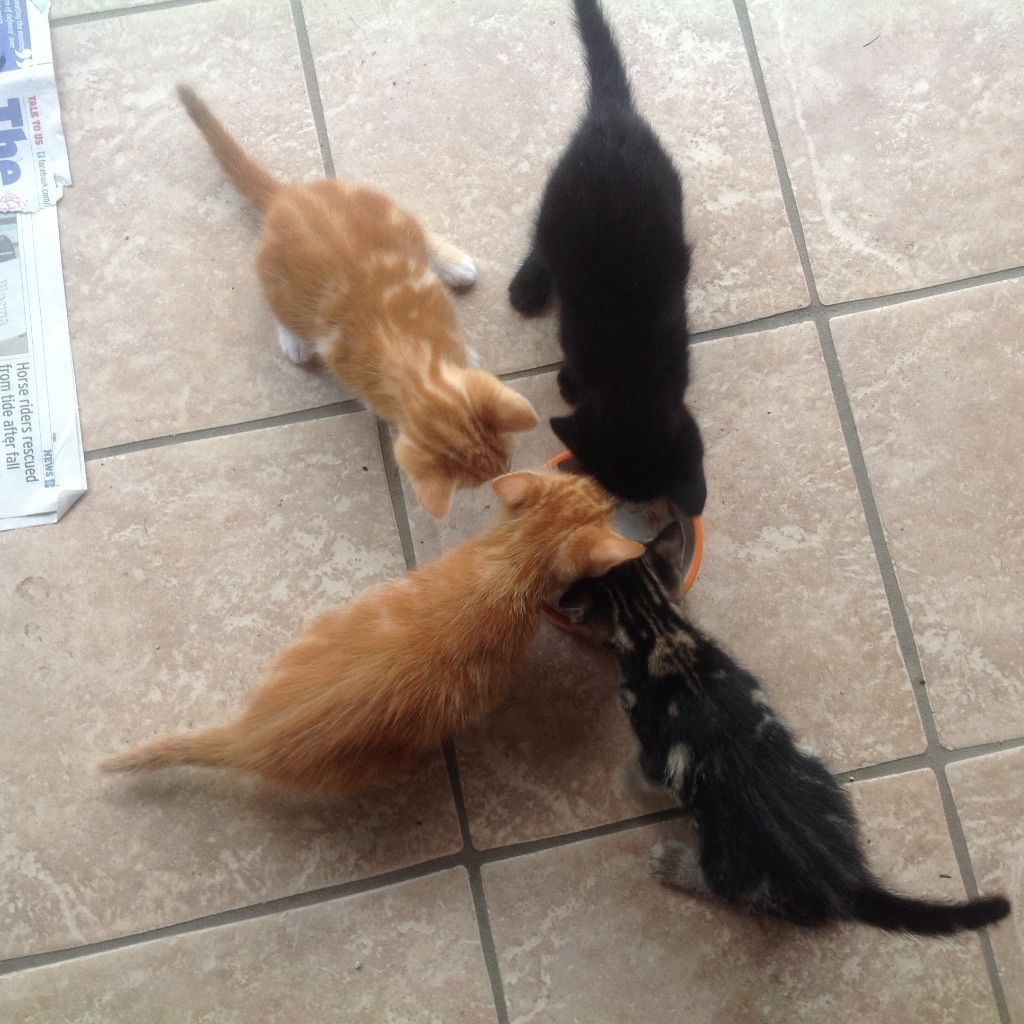4 kittens for sale. Will be 10 weeks and ready to go on 15th July. Brought up with children