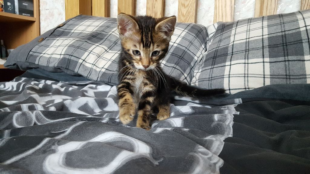 Gorgeous Bengal Male Kittens