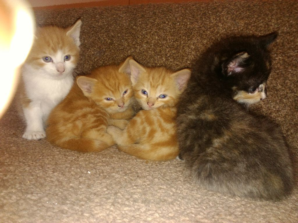 Kittens Ginger, grey, black kittens for sale
