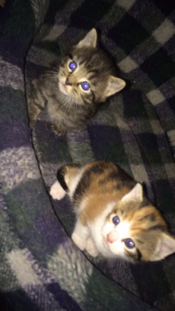 Cute 8week old female kitten ready to get rehomed, last 1 from litter of 6. serious cat lovers only