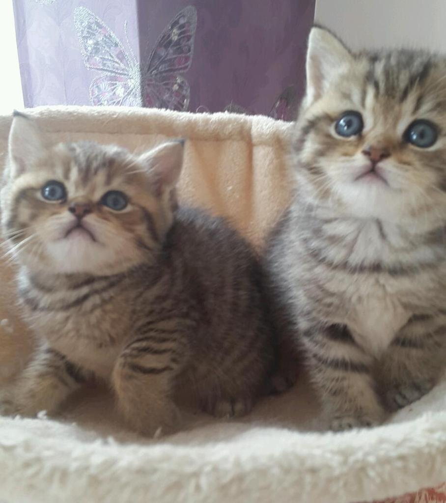 British shorthair x chinchilla persian