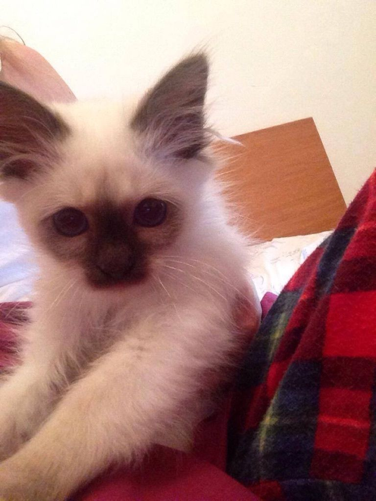 CHOCOLATE POINT BIRMAN KITTEN FOR SALE