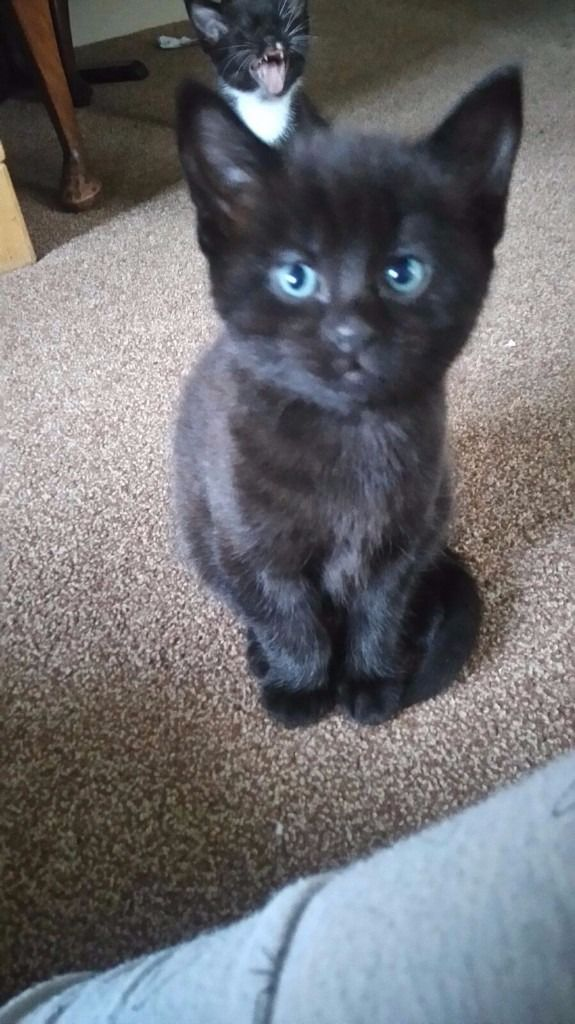 2 BLACK MALE KITTENS